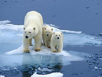 Des mauvaises nouvelles des ours polaires