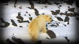 Une race nouvelle d'ours : les pizzlys