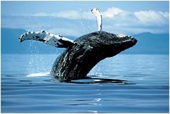 Chasse à la baleine en Islande
