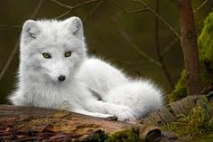 louveteau arctique