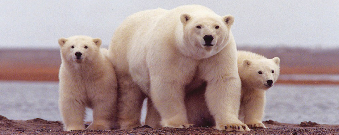 photo d'une famille d'ours polaires