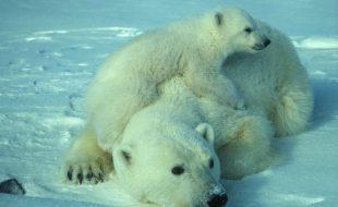 photo d'une femelle ours polaire et son petit