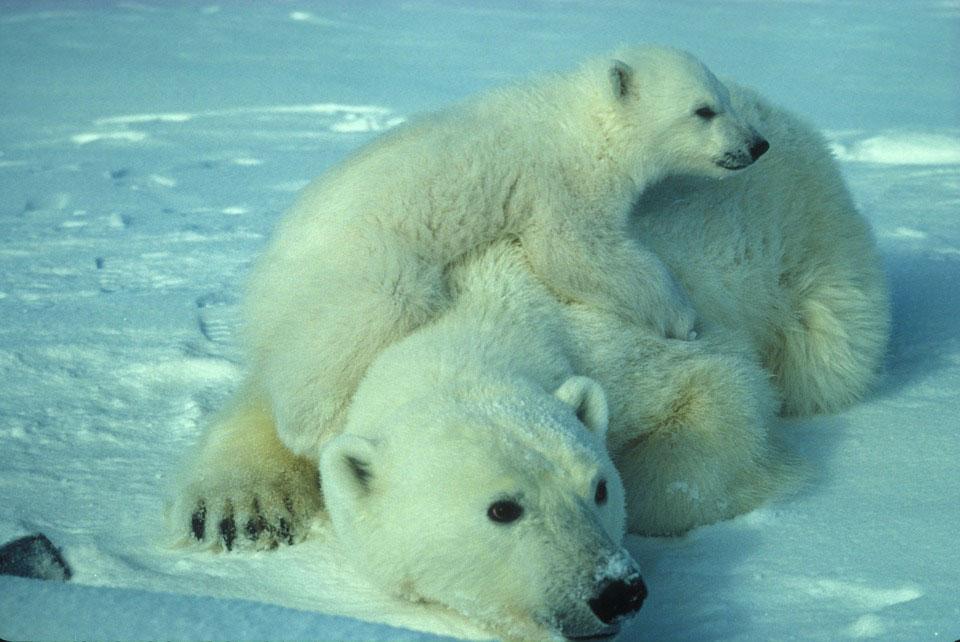 L'ours polaire serait équipé pour gérer le réchauffement.