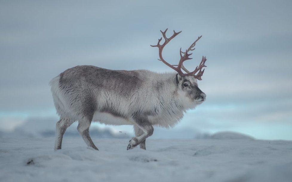 Les rennes du svalbard