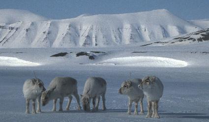 photo d'un renne du svalbard