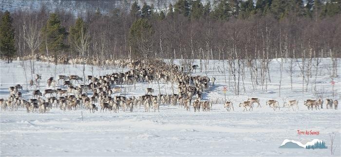 photo de la Migration-des-rennes-en laponie