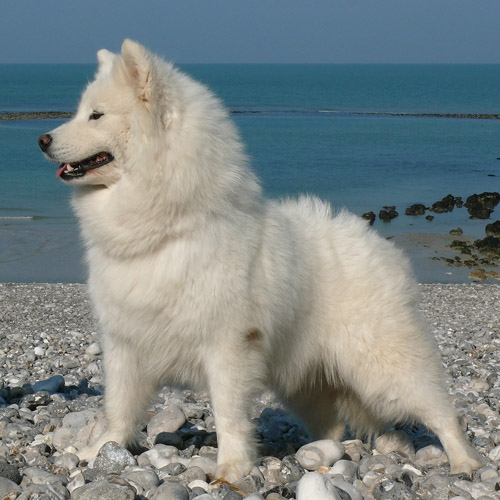 photo de samoyede